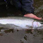 Bois Brule River Steelhead